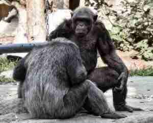 サルチンパンジー