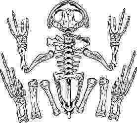 カエル、骨